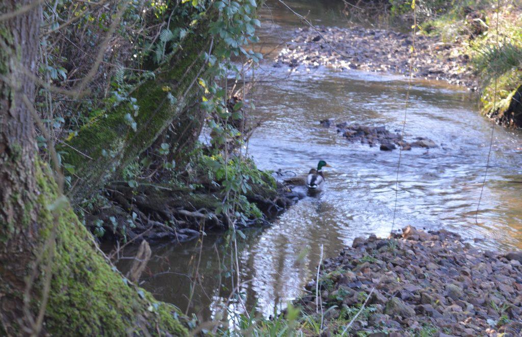 A Mallard duck in the stream