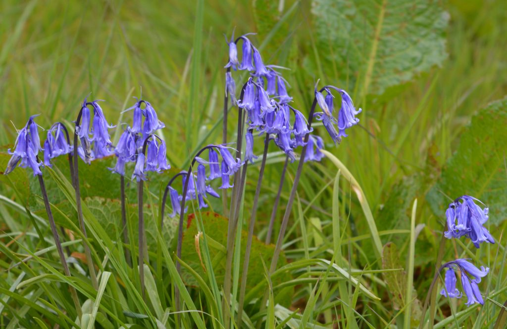 Closeup showing the wild Bluebells